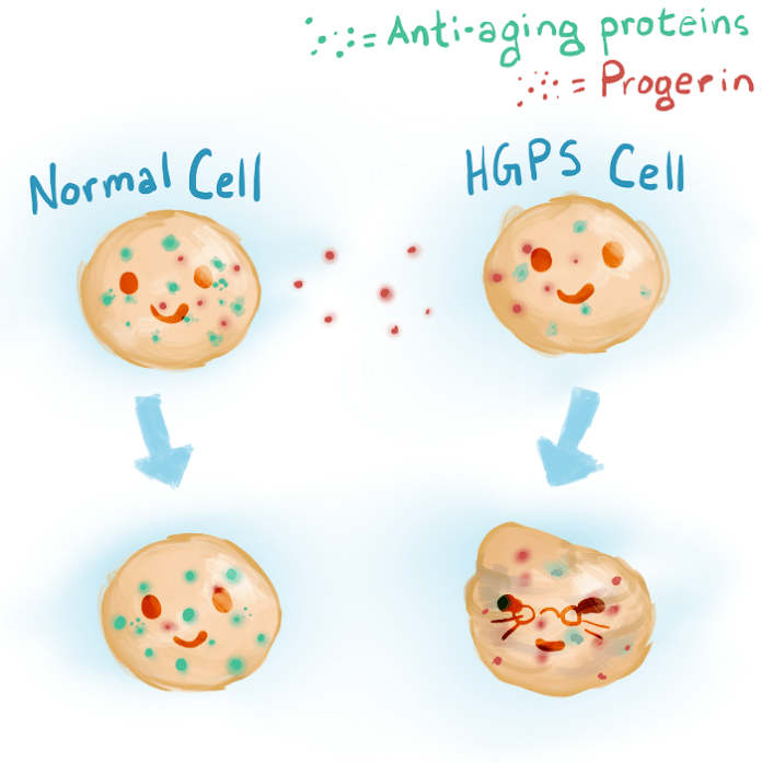 A build up of progerin can lead to early aging.