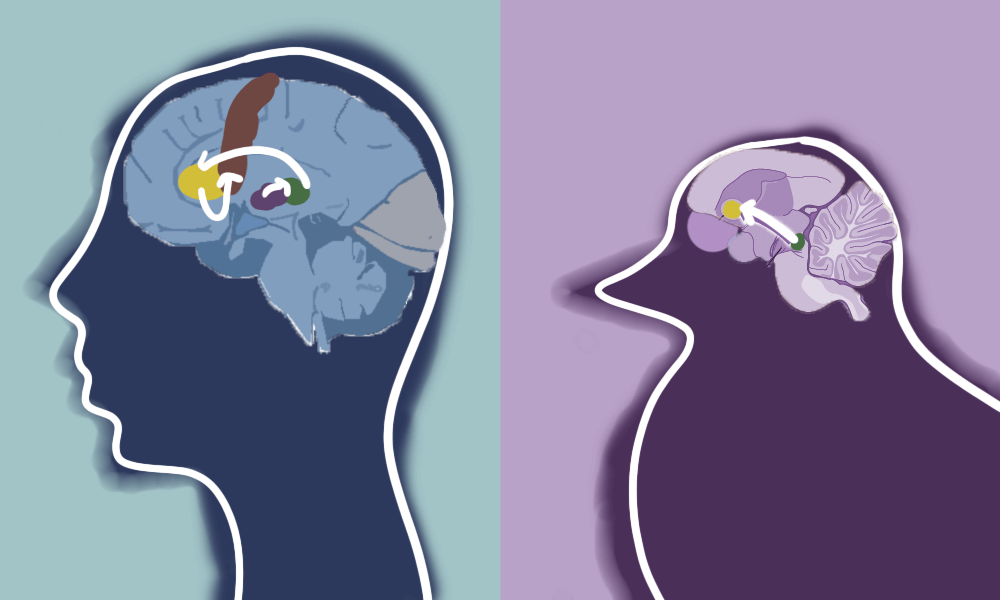 Image highlighting speech learning centers in the brains of humans and zebra finches